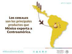 Los cereales son los principales productos que México exporta a Centroamérica. SAGARPA SAGARPAMX #MéxicoSiembraÉxito