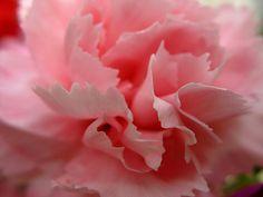 Resultado de imagem para carnation flower