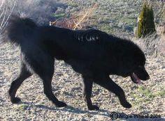 Tibetan Mastiff Rescue, Inc. - Nikki's Rescue Success Story - Click on Pic