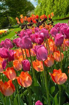 Tulipa 'Amazone' and Tulipa 'Barcelona'