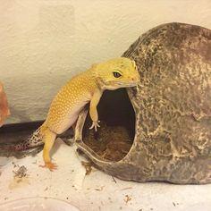 Phoenix, rescue leopard gecko