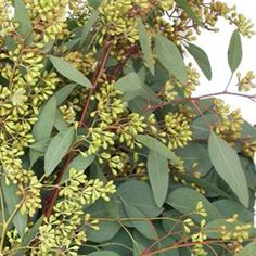 FiftyFlowers.com - Willow Seeded Eucalyptus Flower March 15 to August Delivery 5 bunches for $90