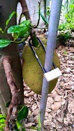 [Photos - No one can steal your jackfruit] 13 Pictures of Vietnamese Locks in the Wild Funny School Jokes, School Humor, Funnt Memes, Spirit Quotes, Funny Clips, Funny Signs, Funny Photos, Night Life, Beautiful Flowers