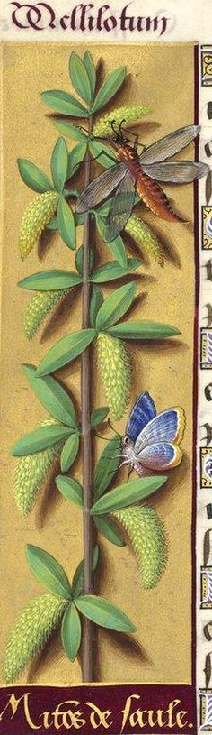 Mitons de saule - Mellilotum (Salix capræa L. = chatons mâles de saule (cf. «chatons de saule»)) -- Grandes Heures d'Anne de Bretagne, BNF, Ms Latin 9474, 1503-1508, f°150v