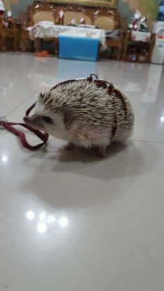 Hedgy with a leash