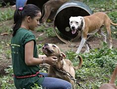 Pit bulls in Philippine dog fights euthanized.