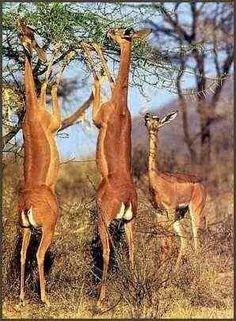 Antilopi...
