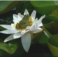 Frog in lotus flower