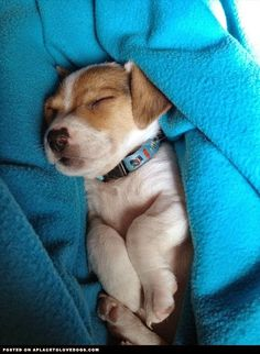 aplacetolovedogs: Jack Russell Terrier puppy Alfie a sweet little cuddle bug having a bit of a snooze For more cute dogs and puppies Cute Puppies, Cute Dogs, Dogs And Puppies, Doggies, Maltese Puppies, Chihuahua Dogs, Jack Russell Puppies, Jack Russell Terrier, Game Mode