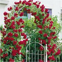 The best dark red roses to plant in your garden. The beautiful black red rose, 'Almost Black'. Deep red 'Climbing Don Juan'. Thornless Climbing Roses, Red Climbing Roses, Flowers Garden, Garden Plants, Lawn And Garden, Garden Art, Beautiful Gardens, Beautiful Flowers, Dark Red Roses