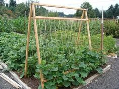 A garden trellis is a great way to use vertical space and increase harvests. Build a strong garden trellis for pole beans and other climbing plants Veg Garden, Garden Trellis, Edible Garden, Lawn And Garden, Garden Beds, Diy Trellis, Bean Trellis, Tomato Trellis, Vegetable Gardening