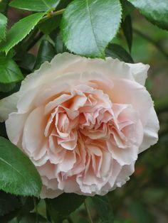 ~Penny Lane Rose... My neighbour's climbing rose, Penny Lane...