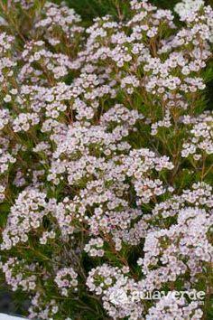 Flor de cera-Chamelaucium uncinatum