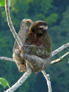 THREE TOED SLOTHS....aka three-fingered sloths...includes 4 types: Maned, Pale throated, Brown throated, & Pygmy....found in the rainforests of Central and South America....measure 15.75–27.25 inches long....black-stripe mask surrounding eyes....eat up to 96 varieties of leaves....move through the canopy at a rate of about 40 yards per day....excellent swimmers