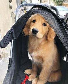 Goldens in Strollers Follow them @thatsbear @expandingintelligence @servicedog_saxon @princessleiagr @lionhearted.leo @comfortdogs…