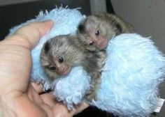 Pygmy Marmoset Monkeys for Sale Small Monkey, Cute Baby Monkey, Pet Monkey, Cute Baby Animals, Animals And Pets, Primates, Marmoset Monkey For Sale, Sugar Glider For Sale, Squirrel Glider