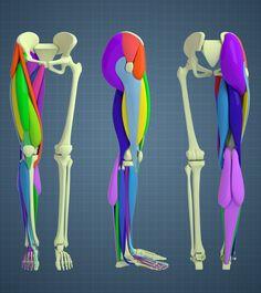 ArtStation - Leg Anatomy Study - Aleksandrs K Leg Muscles Anatomy, Leg Anatomy, Anatomy Poses, Muscle Anatomy, Anatomy Study, Anatomy Reference, Leg Reference, Human Anatomy Drawing, Human Body Anatomy