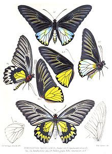 1898 - Icones ornithopterorum : a monograph of the Papilionine tribe Troides of Hubner, or Ornithoptera [bird-wing butterflies] of Boisduval by Rippon, Robert H. Bird Wings, Butterfly Wings, Insect Clipart, Butterfly Species, Beetle Insect, Butterfly Painting, Creature Feature, Botanical Illustration, Natural History