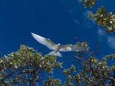 Pitcairn Island Fairy Tern 2012 Pitcairn Islands, Fairy, Angel