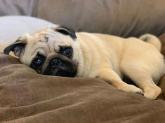 """Obtain excellent pointers on """"pug dogs"""". They are actually on call for you on our internet site. Cute Pug Puppies, Cute Little Puppies, Cute Dogs, Dogs And Puppies, Pug Mug, Baby Pugs, Paws And Claws, Purebred Dogs, Mundo Animal"""