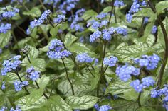 False forget-me-not (Brunnera macrophylla 'Jack Frost') provides masses of spring interest, with large silver leaves and indigo flowers.