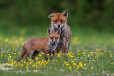 Father and son Great to see theses foxes
