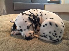 Go to e yersavage for more like this! Animals And Pets, Baby Animals, Cute Animals, Blue Merle, Cute Dogs And Puppies, Doggies, Corgi Puppies, Big Dogs, Dalmatian Dogs