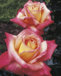 Love & Peace™ Hybrid Tea Rose. Parentage: Seedling x Peace. AARS Winner: 2002. Disease Resistance:? Prefers humid climates. Naturally vigorous & nearly always showing color. Flower Color: Yellow blushed pink Fragrance: Mild  No unattractive leggy habit in this Hybrid Tea! It's full & bushy with lots of long stems, gobs of glossy green leaves & abundant big blossoms of soft yellow blushing to pink.    Flower Form & Size: Full & Large, 40+ petals. Plant Habit: Upright & bushy.