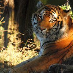 Amur Tiger Vlad @YorkshireWP by jackalphotography, via Flickr