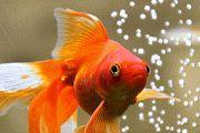 GIF Goldfish, Pets, Animals, Animales, Animaux, Animal, Animais, Common Carp