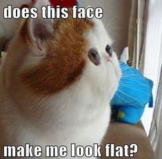 """Does this face make me look flat?"" Cat meme. Light brown and white cat."