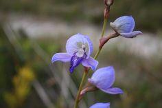 Disa purpurascens