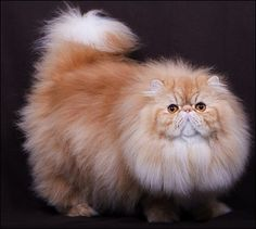 :: CFA Persian Breed Council - Tabby Division Winners 2013-2014 ::