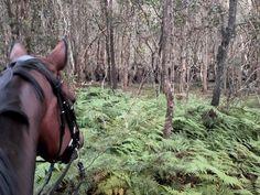 A relaxing ride through the Brisbane Koala Bushlands Dressage, Brisbane, Ballerina, Equestrian, Horses, Group, Animals, Animais, Animales