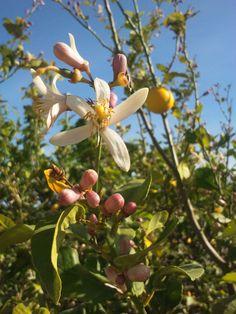 Flores del limonero en primavera Fruit, Spring, Plants, Flowers