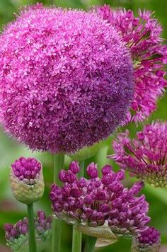 Allium...one of my favourites