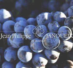 Grapes from Pomerol just harvested from our