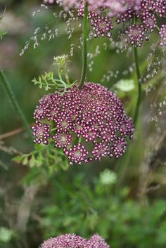 Daucus carota 'Dara' is a colorful cultivar of Queen Anne's Lace