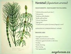 Health-Benefits-and-Magickal-Uses-for-Horsetail.