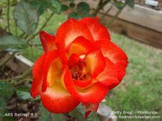 Vibrant Fall Color | Betty Boop - Floribunda | The Redneck Rosarian