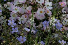 géranium Blue Cloud + linaria purpurea + rosier Tapis Volant