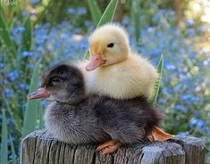 Duck Pictures, Baby Animals Pictures, Pet Ducks, Baby Ducks, Cute Little Animals, Cute Funny Animals, Cute Creatures, Beautiful Creatures, Fluffy Animals