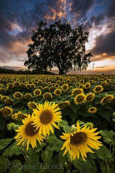 Sunflower Oak Sunset