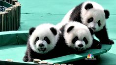 Pandas Are Making a Comeback                                                                                                                                                                                 More