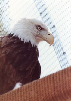 A bald eagle rescued by your SPCA for Monterey County's Wildlife Rescue & Rehabilitation Center. www.SPCamc.org.