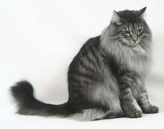 Norwegian Forest Cat - mine lived for 18 years. A true gentle giant, he was 30 inches nose-to-tail, and weighed 30 lbs.