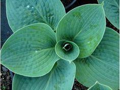 Hosta Big daddy - Le jardin de Taurignan, producteur de plantes vivaces
