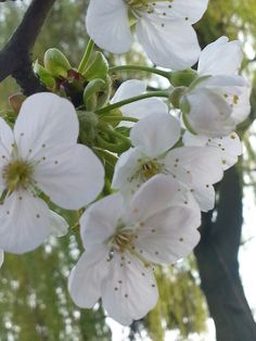 De kersenboom in bloei