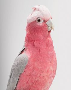 design is mine : isn't it lovely?: TEN IMAGES OF INSPIRATION : PINK AND GREY.    this entire set is amazing and this bird kills me