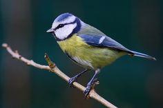 mésange bleue - passereaux de Fontainebleau